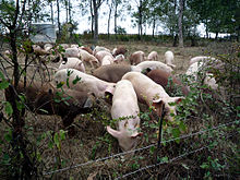 220px-Pigs_at_Polyface_Farm