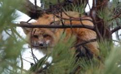 Fox_nest_2 (1)