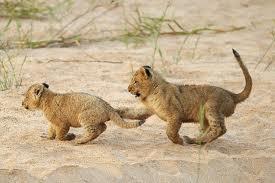 Lionscubs
