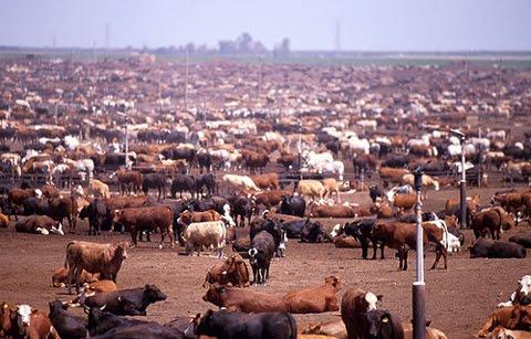 Cattle-feed-lot[1]