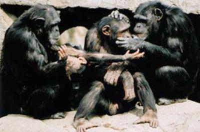 Chimp_group