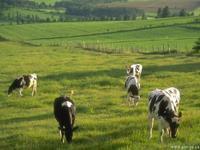 Cows_09